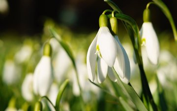 flowers, spring, snowdrops