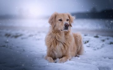 snow, muzzle, look, dog, golden retriever