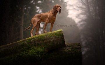 собака, родезийский риджбек, риджбек