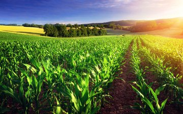 the sky, trees, nature, landscape, field, corn