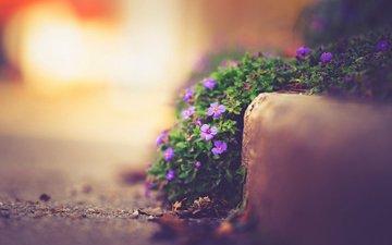 цветы, природа, макро, улица, боке, фиалки