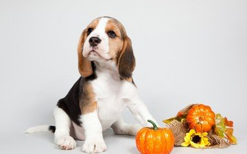 dog, puppy, ears, breed, pumpkin, beagle