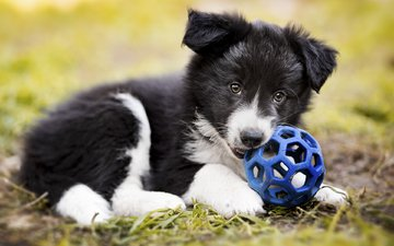 dog, puppy, the ball, the border collie