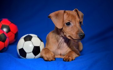 dog, the ball, miniature pinscher