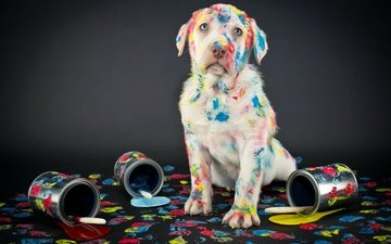 colorful, paint, dog, black background, labrador, banks, brush, retriever