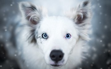 face, snow, winter, background, portrait, look, dog, blue eyes, white, snowfall, the border collie, cecilia zuccherato, snesoid