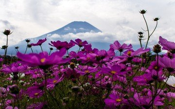 flowers, clouds, nature, mountain, petals, kosmeya