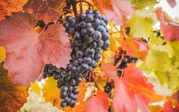 nature, leaves, grapes, berries, bunch