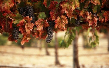 nature, leaves, grapes, bunches, vineyard