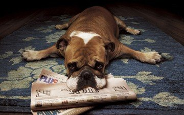 dog, lies, puppy, newspapers, bulldog, boxer, english bulldog