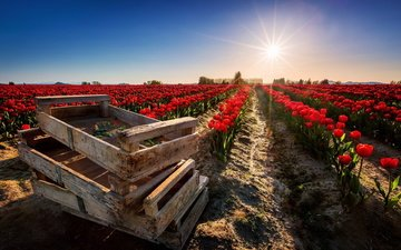 the sky, flowers, the sun, nature, field, tulips, boxes, plantation