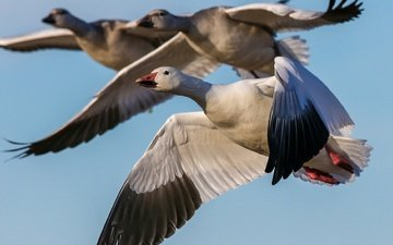 the sky, flight, wings, birds, beak, geese