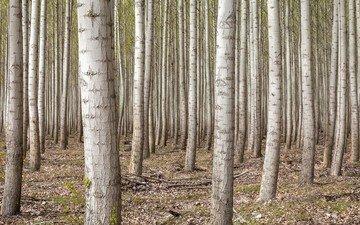 деревья, лес, березы, сша, роща, орегон