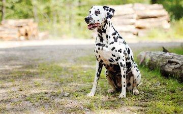 grass, dog, dalmatian