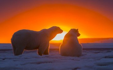 snow, sunset, bears, arctic, polar bears