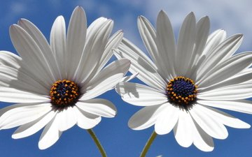 the sky, flowers, petals, white, gerbera