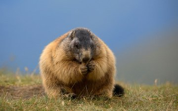 nature, background, animal, marmot, beaver, alpine marmot