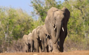 animals, africa, elephants