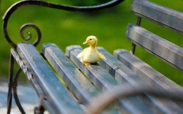 chick, bird, bench, duck