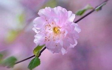 цветок, лепестки, сад, весна, вишня, сакура