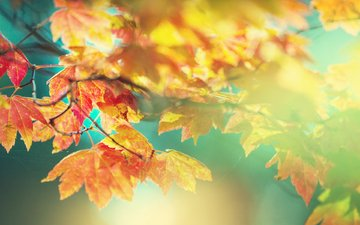 leaves, macro, autumn, maple