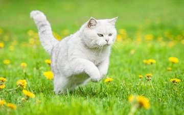flowers, grass, cat, dandelions, white, british shorthair