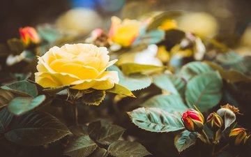 flowers, buds, leaves, roses, petals, yellow roses