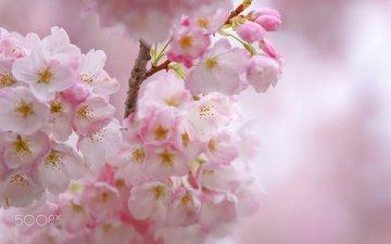 цветы, цветение, весна, сакура