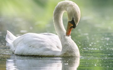 bird, pond, swan