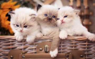 кошки, малыши, котята, голубые глаза, рэгдолл