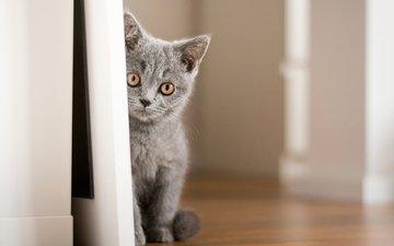 глаза, фон, кот, усы, кошка, взгляд, котенок, британец