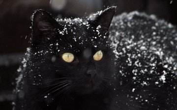 eyes, snow, background, cat, mustache, look, black