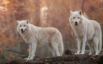 predators, wolves, white wolf