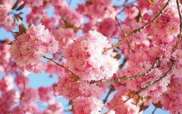 flowering, spring, sakura, japanese cherry