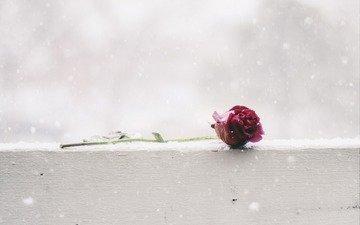 снег, цветок, роза