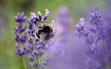 flowers, insect, lavender, bee, pollination