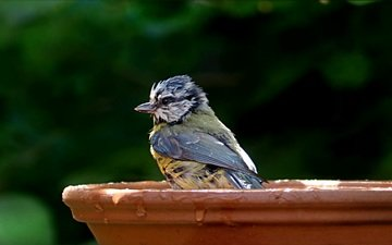 drops, bird, beak, feathers, bathing, tit, blue tit, vlda