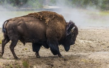 nature, animal, horns, buffalo