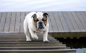 ladder, dog, walk, animal, bulldog, english bulldog