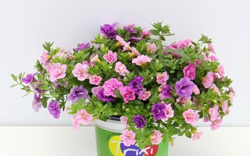 flowers, leaves, petals, pot, petunia, calibrachoa