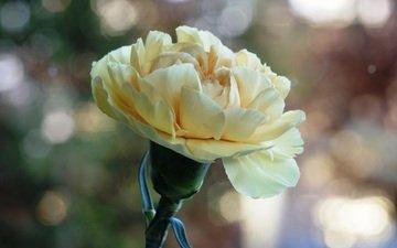 цветение, цветок, боке, гвоздика