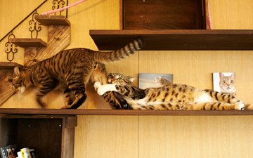 animals, cat, house, the game, cats, shelf