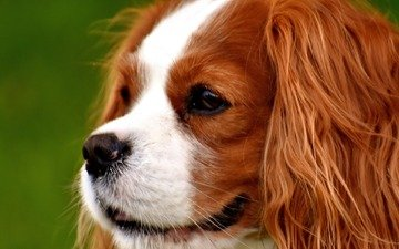 face, dog, profile, spaniel, cavalier-king-charles-spaniel