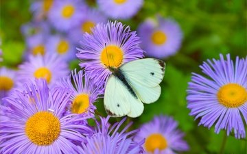flowers, nature, insect, butterfly, wings