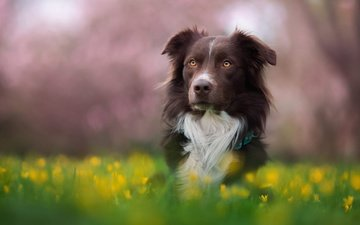 flowers, grass, nature, greens, dog, meadow, the border collie