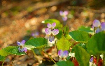 цветы, природа, листья, лепестки, весна, фиалка