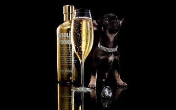 собака, щенок, бокал, черный фон, бутылка, шампанское, алкоголь, водка, чихуахуа, absolut