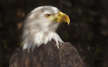хищник, птица, клюв, перья, белоголовый орлан