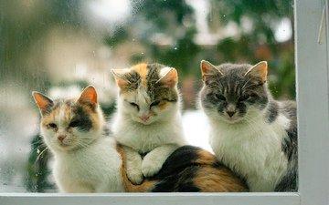 глаза, взгляд, коты, окно, кошки