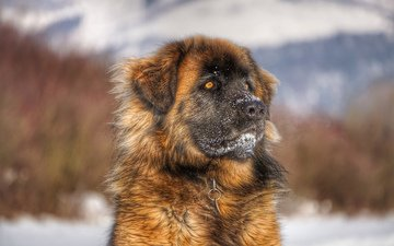 face, look, dog, leonberger